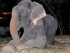 """Torturé pendant 50 ans, un éléphant pleure à sa libération....Pooja Binepal, la porte-parole de l'association, a décrit ce sauvetage comme """"incroyablement émotionnel"""" pour l'équipe et a parlé """"d'actes de cruauté intolérables, enchaîné 24 h/24"""", et a évoqué """"l'existence pitoyable"""" de l'animal."""