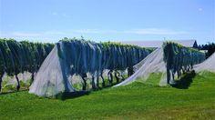 Brides in the vineyard in Newport.  Copyright 2012. Beth Fagan.