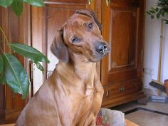 Dog breeds for tropical climate. These dogs tolerate heat.  http://srirad0675.hubpages.com/hub/Dog-breeds-for-tropical-climate #dog #dogs