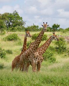 Kruger National Park, South Africa, animal