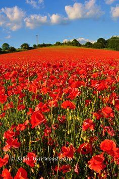 Poppy Fields, South Coast England