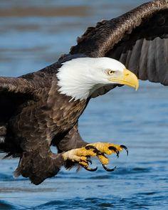 Eagle Images, Raptors, Eagles, Bald Eagle, Bird, Nature, Animals, Naturaleza, Animales