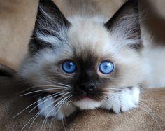 Blue-Gem Ragdoll Kitten