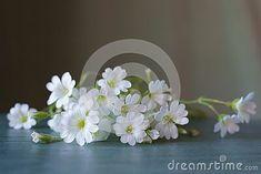 wild-white-flower-creeping-groundcover-cerastium-alpinum
