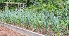 This Plant Kills Fourteen Types Of Cancer And Thirteen Different Infections!- So Why Don't Doctors Recommend It? - World of Health 365 Natural Cancer Cures, Natural Cures, Natural Health, When To Harvest Garlic, Organic Gardening, Gardening Tips, Urban Gardening, Types Of Cancers, Edible Garden