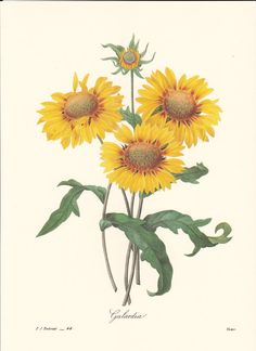 Pierre Redoute Botanical Print, this is a good source for vintage illustrations, ads, and paper ephemera. #vintage illustrations #vintage images #botanical prints #pierre redoute #sunflower