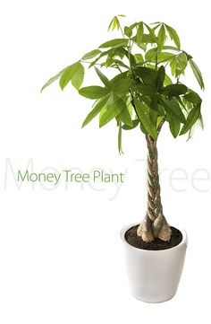 Houseplants for Better Sleep What's a cash tree plant? Bonsai Garden, Garden Plants, Green Garden, Money Tree Plant Care, Pachira Aquatica, Large Indoor Plants, Money Images, Chinese Money Plant, Garden Site