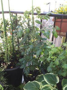 Ma #tomate 'TomTato' passe la rambarde du #balcon http://www.pariscotejardin.fr/2015/06/ma-tomate-tomtato-passe-la-rambarde-du-balcon/