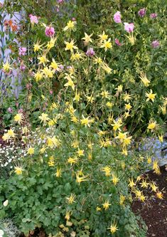 Aquilegia chrysantha 'Yellow Queen' longest blooming of all Columbines & it's FRAGRANT, too! Easily reaching 3' tall & 2' across