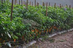 Túto zeleninu pestujte vedľa seba! Tieto kombinácie zaručia, že vám budú plodiť dvojnásobne viac a odplašia hmyz – radynadzlato.sk Chili, Gardening, Beauty, Fashion, Plant, Beleza, Moda, Chile, La Mode