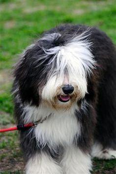 old english sheepdog photo   Paul McCartneys hund Martha er en old english sheepdog. Racen har ...