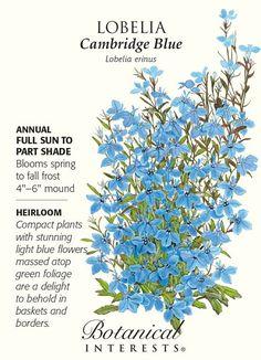 Cambridge Blue Lobelia Seeds - 125 mg - Annual