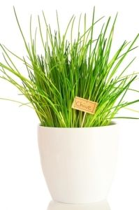 Growing chives indoors on a sunny windowsill allows you to enjoy this herb year-round. Get tips for planting and harvesting chives plant, plus how to dry them. Hydroponic Gardening, Hydroponics, Gardening Tips, Indoor Gardening, Garden Plants, Indoor Plants, House Plants, Indoor Herbs, Vegetables Garden