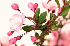 海棠桜 kaidou sakura