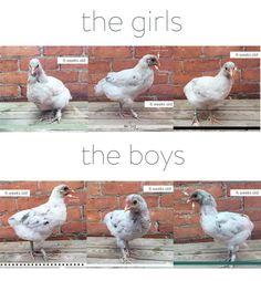 How to sex brahma chicks