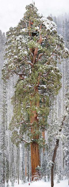 樹齢3,200年、葉の総数なんと20億枚「地球上で2番目に巨大な樹木」が1枚の画像に収められる - DDN JAPAN