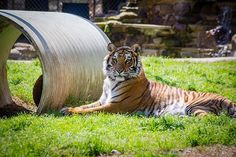 Sheba, a campground tiger, can finally walk without pain
