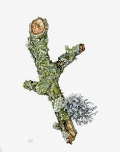 Botanical Illustration - Roger Reynolds Botanical Art - Lichens