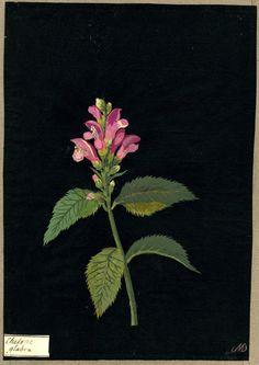 Mary Delany (1700-1788) - Chelone glabra, formerly in an album (Vol.II, 87), 1780 - collage of coloured papers, with bodycolour and watercolour, on black ink background