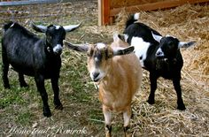 Considering A Dairy Goat?  Lots of great goat information.  I miss having goats.