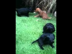 Labrador Retriever Puppies Gumtree Cute Puppies For Sale Labrador Retriever Cute Puppies For Sale Retriever Puppy