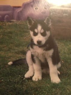 Learn how to take care of and train a Siberian Husky puppy.