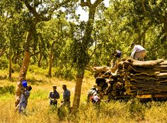 Cork harvest still a hard hand made work, men start working around 5am to avoid mid day high temperatures of June (40 to 44 celsius) in Alentejo. Tiny Portugal is the largest world producer of cork (100% sustainable material).