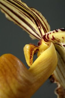 Macro Photography of Slipper Orchids