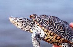Diamondback terrapin, Chesapeake Bay, MD  #nature #terrapin #turtle