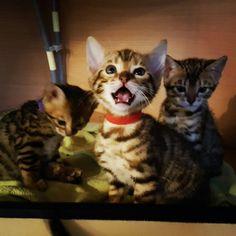 Little princes #bengal kitten