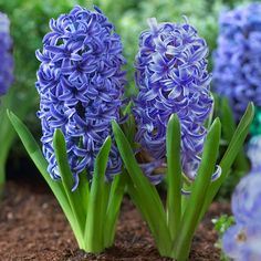 Hyacinth Blue Jacket - One of the great blues of the flower world. These award-winning hyacinths display big columns of royal blue florets with crisp white edges. They go with every other color in the garden, from red to yellow, pink to purple. Plant them near the front of your flowerbeds where you can enjoy their wonderful fragrance. Blue Jacket is a good variety for forcing. Longfield Gardens