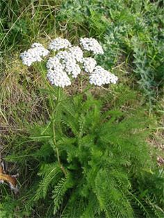 White Yarrow: A Texas native perennial. Lacey, fern like leaves emerge in early spring and form dense clumps of growth. Compact cluters of earl to mid -spring flowers set atop green branching growth which may reach up to 3 ft. tall. Benifites from deadheading after flowering. May go dormant in late summer heat. Likes dry soil and full sun but tolerates some shade. Zone 3-9.