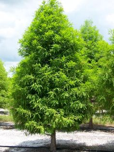 Front yard landscaping will increase the value of your home * Click image for more details. Bald Cypress Tree, Cypress Trees, Privacy Landscaping, Front Yard Landscaping, Fast Growing Evergreens, Tree House Designs, Planting Plan, Shade Trees, Farm Gardens