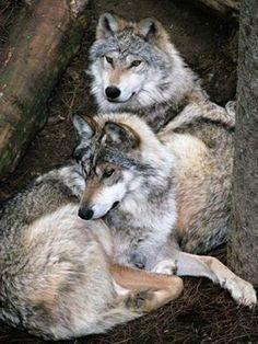 beaux couple de loups gris <3 ****
