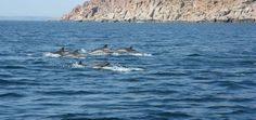 Pod of dolphins off Isla Espiritu Santos near La Paz