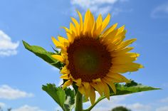 Sun panel - Isn't it magic when you see a sunflower which always look the sun face to face? - Yves Bonis