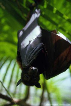 Image detail for -FLYING FOX, (FRUIT BAT) AUSTRALIA