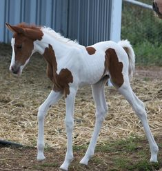 Foals at Arabec Tiny Horses, Cute Horses, Beautiful Horses, Cute Horse Pictures, Chubby Puppies, Horse Wallpaper, American Saddlebred, Majestic Horse, Appaloosa Horses