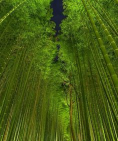floresta de bambues