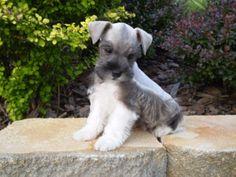 Grey Miniature Schnauzer | Past Puppies - Kirby's Miniature Schnauzers
