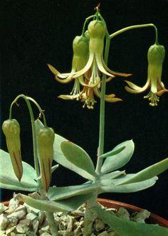 Cotyledon orbiculata b