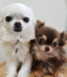 Chihuahua Puppies, Cute Puppies, Chihuahuas, Baby Animals, Funny Animals, Cute Animals, Cute Animal Pictures, Puppy Pictures, Cute Dogs Breeds