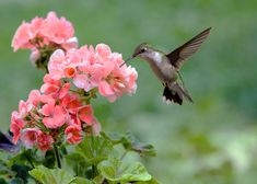 """Delphinium is the flower of my birth month (July), and means """"boldness"""". The hummingbird represents my loved ones who have passed on. The two together represent for me living life bolding while also remembering the past. Hummingbird Photos, Hummingbird Nectar, Hummingbird Flowers, Ruby Throated Hummingbird, Hummingbird Garden, Hummingbird Habitat, Pink Geranium, Geranium Flower, Geranium Plant"""