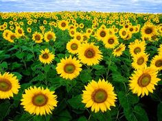 Astro Uncle: Astrological Benefits Sunflower - Astro Upay