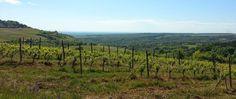 Le vignoble en amont de St-Aubin (21)