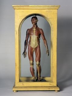 Wax male anatomical figure, Italian, 1776-1780        This wax model is a half life-size figure showing the muscles and bones of the body in a superficial dissection. This style of model is known as écorché. It is part of a series, which show layer after layer of tissue being removed to reveal the internal structure of the body.