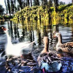 Los patos que siempre se acercan a las trajineras para que la gente les de comida. Xochimilco D.F.