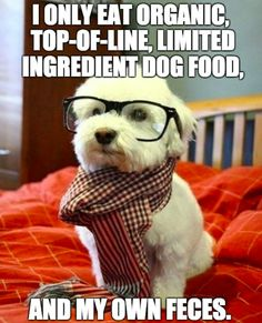 Hipster Westie, too cute! Havanese Puppies, Cute Puppies, Cute Dogs, Dogs And Puppies, Poodle Puppies, Doggies, Funny Dog Memes, Funny Dogs, Funny Animals