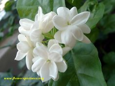 Sweet jasmine flowers love the smell {used to make necklaces out of these}