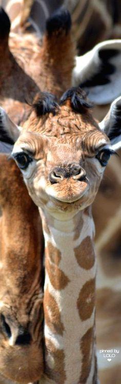 Baby Giraffe | LOLO❤
